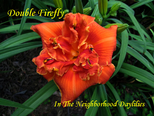 Double Firefly  (Netherton, J.  2006)-Daylily;Day Lily;Daylilies;CLICK ON IMAGE TO ENLARGE;Double Firefly;J.Netherton 2006 Daylily;Double Daylily;Orange w'Orange Red Halo Above Yellow Throat Daylily;Reblooming Daylilies