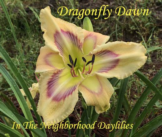 Dragonfly Dawn  (Trimmer, J.,  2010)-Daylily;Daylilies;Day Lilly;Daylily Dragonfly Dawn;Jane Trimmer 2010 Daylily;Award Winning Daylily;Patterned Green, Blue Lavender, Cranberry Rainbow Eye On Dark Parchment Petals Daylily;Reblooming Daylilies;Perennial Daylilies