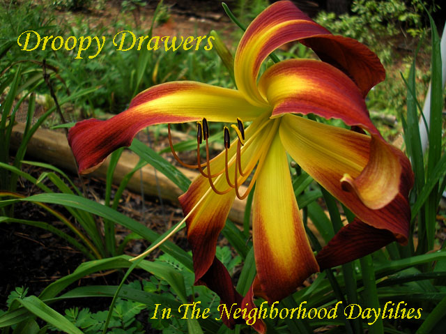 Droopy Drawers  (Murphy, J.P.,  2005)-CLICK IMAGE TO ENLARGE;Daylily;Day Lily;Daylilies;Droopy Drawers Daylily;J.P.Murphy 2005 Daylily;Red w' Gold Midribs Daylily;Unusual Form Daylily;Reblooming Daylilies;Fragrant Daylilies