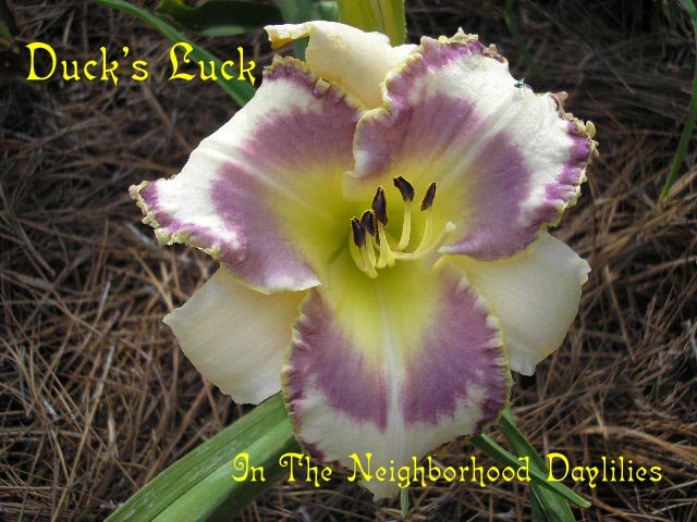Duck's Luck  (Eller,  2003)-Daylilies For Sale;CLICK IMAGE TO ENLARGE;Daylily;Day Lily;Daylilies;Daylily Duck's Luck;Eller 2003 Daylily;Award Winning Daylily;Light Cream w' Soft Grape Eye & Edge w'Gold Picotee Edge Above Green Throat Daylily;Reblooming Daylilies;Perennial