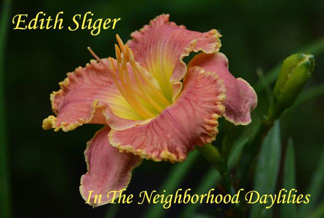 Edith Sliger  (Salter, 2000)-Daylily;Daylilies;Day Lily;CLICK IMAGE TO ENLARGE;Daylily Edith Sliger;Salter 2000 Daylily;Rose Pink Coral Blend w' Gold Edge Daylily;Award Winning Daylily;Early To Midseason Daylily;Reblooming Daylilies;Tetraploid Daylily;Semi-evergreen Daylily