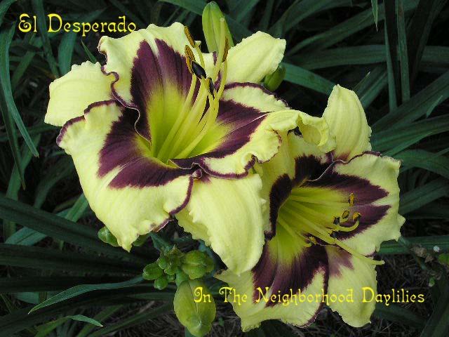 El Desperado  (Stamile, 1991)-Daylily;Daylilies;CLICK PICTURE TO ENLARGE IMAGE;Daylily El Desperado;Stamile 1991 Daylily;Mustard Yellow w' Wine Purple Eye Daylily;Award Winning Daylily;Late Season Daylily;Extended Blooming Time Daylilies;Tetraploid Daylily;Dormant Daylily