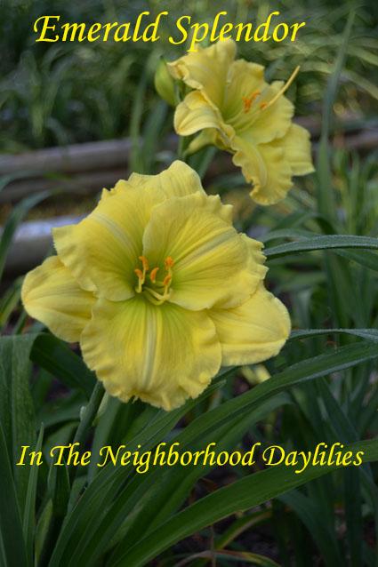 Emerald Splendor  (Wilson, T.,   1993)-Daylily;Daylilies;Daylillies;CLICK IMAGE TO ENLARGE;Emerald Splendor Daylily;T. Wilson Daylily;Award Winning Daylily;Reblooming Daylilies;Yellow w' Green Cast Daylily;Extended Bloom Time Daylily