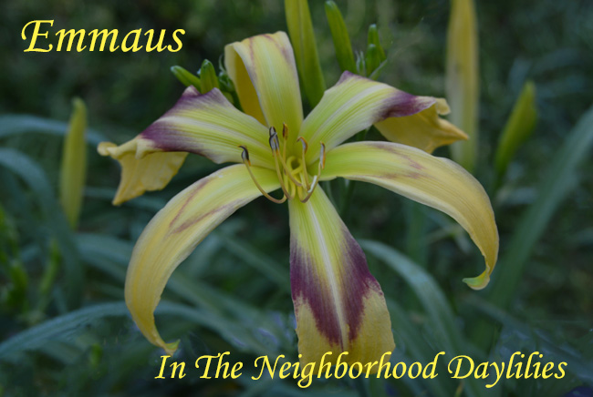 Emmaus  (Temple  '98)-Daylily;Daylilies;Day Lily;CLICK ON IMAGE TO ENLARGE;Daylily Emmaus;Temple 1998 Daylily;Award Winning Daylily;Yellow Green w' Heavy Maroon Chevron Eye Above a Green Throat Daylily;Spider Daylily;Reblooming Daylilies;Perennial