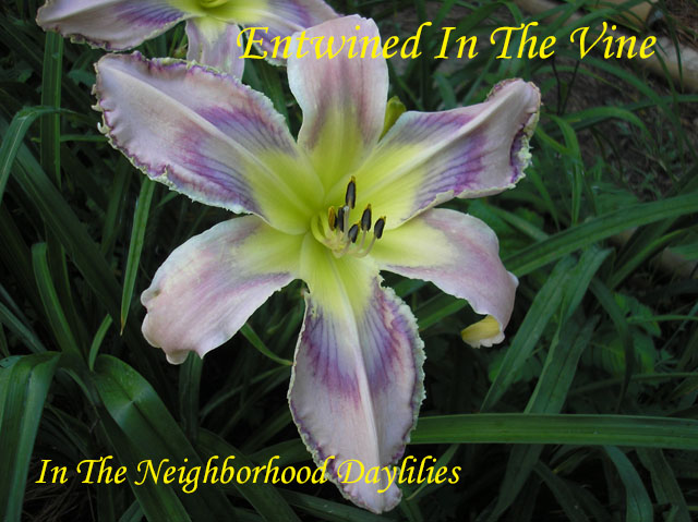 Entwined In The Vine  (Emmerich,  2007)-Daylily;Day Lily;Daylilies;CLICK ON IMAGE TO ENLARGE;Daylilies For Sale;Entwined In The Vine Daylily;Emmerich 2007 Daylily;Award Winning Daylily;Lavender Pink w'Multicolored Patterned Lavender Violet Eye & Ege Daylily;Reblooming Daylilies;Very Fragrant Daylilies;Perennials