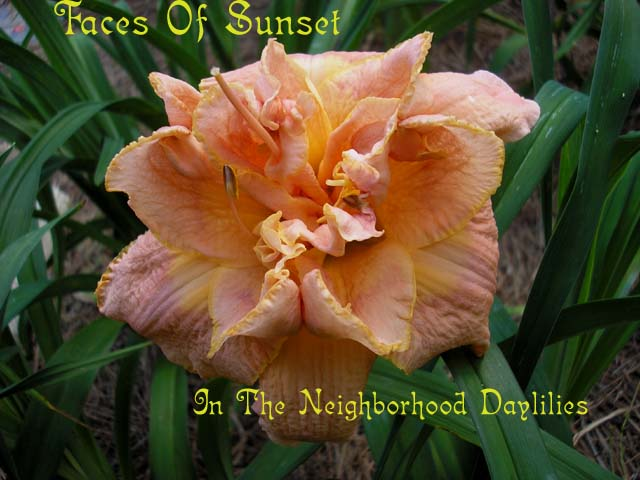 Faces Of Sunset   (Buntyn 2000)-CLICK PICTURE;Daylily Faces Of Sunset;Buntyn Daylily;Pink w' Darker Band w' Yellow Eye & Gold Edge Daylily;Double Daylily;Early Season Daylily;Reblooming Daylilies;Extended Blooming Time Daylilies;Tetraploid Daylily;Semi-evergreen Daylily