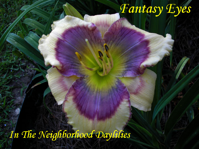 Fantasy Eyes  (Stamile,  2005)-Daylily;Day Lily;Daylilies;CLICK ON IMAGE TO ENLARGE;Stamile 2005 Daylily;Fantasy Eyese Daylily;Cream w'Multicolored Eye Daylily;Reblooming Daylilies;Early Blooming Daylilies