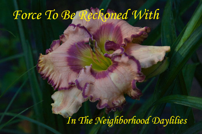 Force To Be Reckoned With  (Harry,  2008)-Daylily;Day Lily;Daylilies;CLICK ON IMAGE TO ENLARGE;Force To Be Reckoned With Daylily;Nichole Harry 2008 Daylily;Light Almond w'Purple Blue Eye & Edge Daylily;Reblooming Daylilies