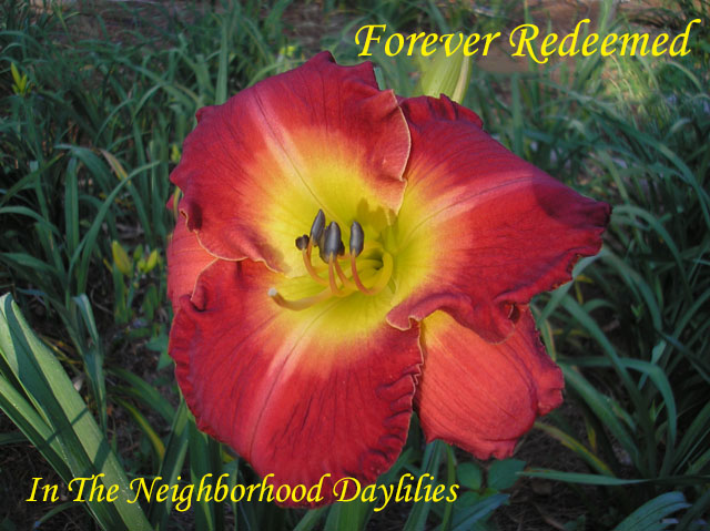 Forever Redeemed  (Carpenter, J.,  2003)-Daylily;Day Lily;Daylilies;CLICK ON IMAGE TO ENLARGE;Daylilies For Sale;Daylily Forever Redeemed;J.Carpenter 2003 Daylily;Red w'Lighter Salmon Red Watermark Above Green Throat Daylily;Award Winning Daylily;Reblooming Daylilies;Fragrant Daylilies;Perennials