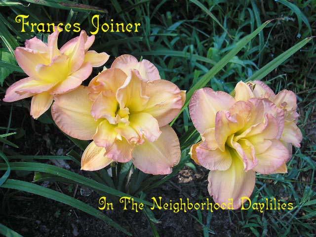 Frances Joiner  (Joiner, 1988)-Daylily;Day Lily;Daylilies;CLICK ON IMAGE TO ENLARGE;Daylily Frances Joiner;Joiner 1988 Daylily;Rose Blend Daylily;Award Winning Daylily;Double Dayliy;Midseason Daylily;Reblooming Daylilies;Fragrant Daylily;Diploid Daylily;Dormant Daylily