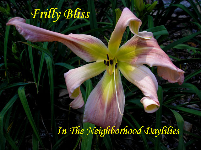 Frilly Bliss  (Joiner, J., 1998)-CLICK PICTURE;Daylily Frilly Bliss; J.Joiner Daylily;Powder Pink Daylily Unusual Form Daylily;Award Winning Daylily;Mid to Late Season Blooming Daylily;Evergreen Daylily