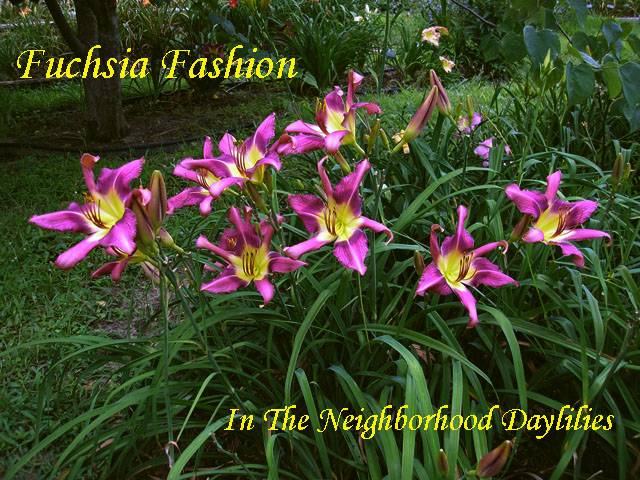 Fuchsia Fashion  (Webster,  1988)-CLICK PICTURE;Daylily Fuchsia Fashion;Webster Daylily;Daylily Pictures;Perennials;Extra Large Daylily Bloom;Very Fragrant Daylilies;Dormant Daylilies