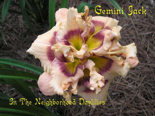 Gemini Jack (Trimmer,  1999)-Daylily;Daylilies;CLICK PICTURE;Gemini Jack Daylily;1999 Trimmer Daylily;Award Winning Daylily;Double Daylily;Lavender Blend w' Purple Eye Daylily