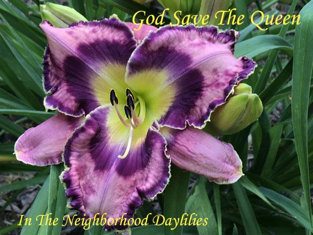 God Save The Queen   (Morss,   2005)-Daylily;Daylilies;God Save The Queen Daylily;Morss 2005 Daylily;Medium Amethyst w' Midnight Purple Eye Daylily;Purple & Gold Edge Daylily;Award Winning Daylily;Reblooming Daylilies;Extended Blooming Time Daylilies