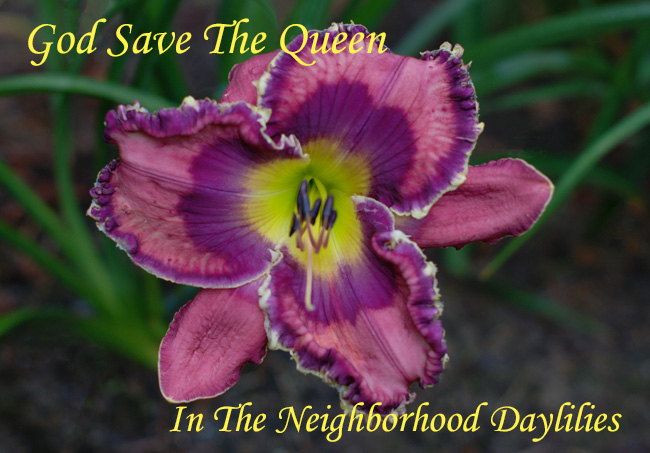God Save The Queen   (Morss,   2005)-Daylily;Daylilies;God Save The Queen Daylily;Morss 2005 Daylily;Medium Amethyst w' Midnight Purple Eye Daylily;Purple & Gold Edge Daylily;Award Winning Daylily;Reblooming Daylilies;Extended Blooming Time Daylilies