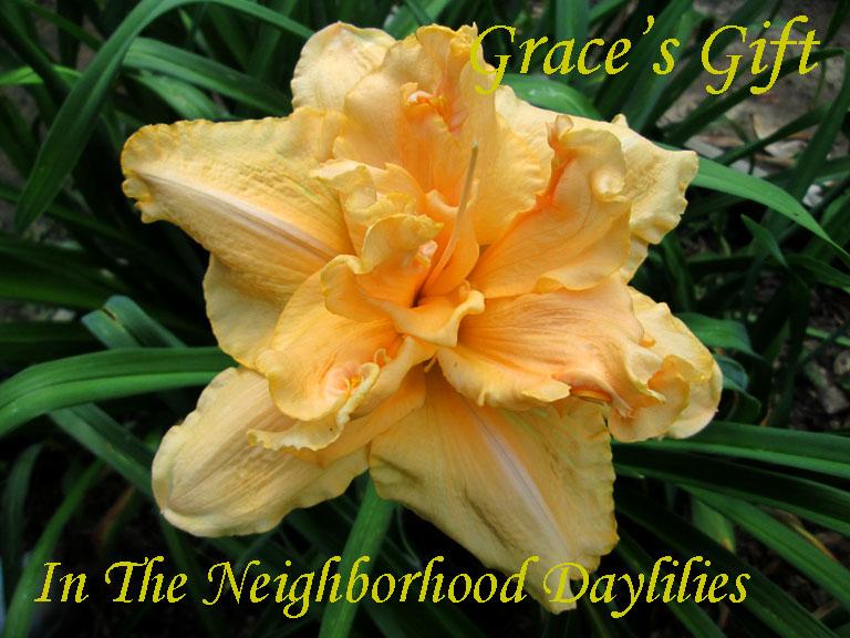 Grace's Gift  (Netherton,  2004)-Daylily;Daylilies;CLICK ON IMAGE TO ENLARGE;Grace's Gift Daylily;Netherton 2004 Daylily;Apricot Yellow Blend Daylily;Double Daylily;Reblooming Daylilies