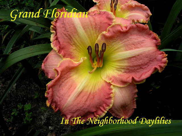 Grand Floridian  (Trimmer,  2003)-Daylily;Daylillies;Daylilies;CLICK ON IMAGE TO ENLARGE;Grand Floridian Daylily;Trimmer 2003 Daylily;Rose Pink Blend Above Yellow Green Throat Daylily;Reblooming Daylilies;Daylilies For Sale;Perennials