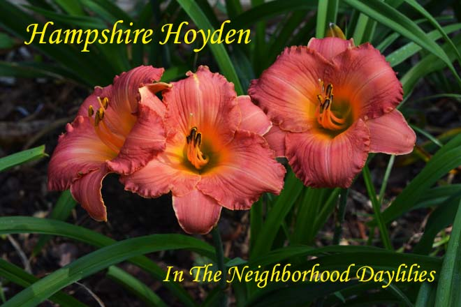 Hampshire Hoyden (Salter, E.H., 2000)-CLICK PICTURE;Daylily Hampshire Hoyden;E.H.Salter Daylily;Rose Pink Blend Daylily;Award Winning Daylily;Midseason Daylily;Reblooming Daylilies;Perennial Plants;Affordable Daylilies;Tetraploid Daylily;Semi-evergreen Daylily