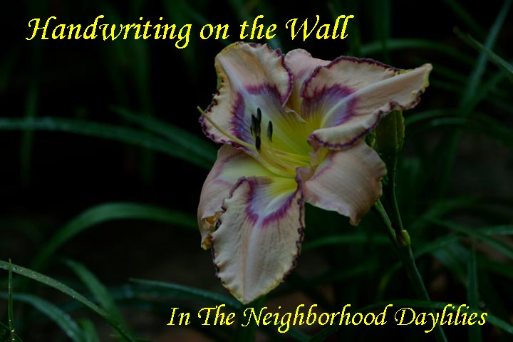 Handwriting on the Wall  (Emmerich  2007)-Daylily;Daylilies;CLICK ON IMAGE TO ENLARGE;Daylily Handwriting on the Wall;Emmerich 2007 Daylily;Dusty Pink w' Wine Lavender Eye & Edge Trimmed w' Ivory Gold Filigree Daylily;Reblooming Daylilies;Fragrant Daylilies