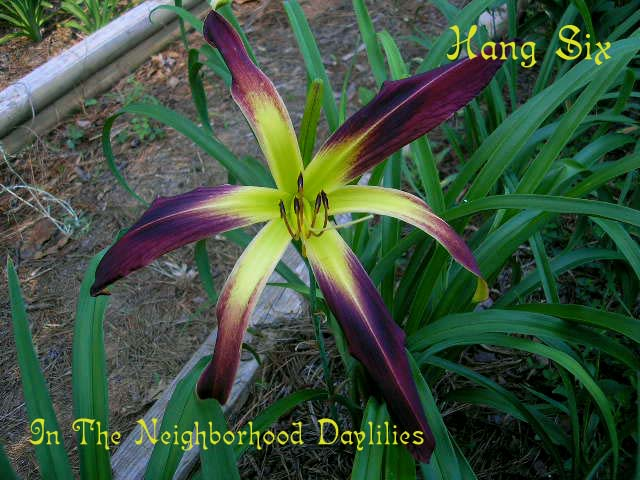 Hang Six  (Stamile, 2002)-Daylily;Day Lily;Daylilies;CLICK IMAGE TO ENLARGE;Daylily Hang Six;Stamile 2002 Daylily;Red Self Daylily;Spider Daylily;Fragrant Daylily;Early Season Daylily;Reblooming Daylilies;Perennial Plants;Tetraploid Daylily;Evergreen Daylily