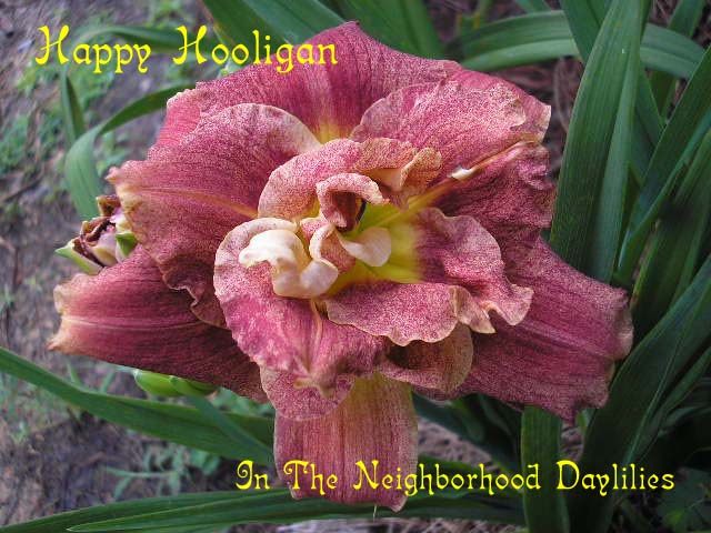 Happy Hooligan (Talbott, 1992)-Daylily;Daylilies;Day Lily;CLICK IMAGE TO ENLARGE;Daylily Happy Hooligan;Talbott Daylily;Cinnamon Red Blend Daylily;Double Daylily;Award Winning Daylily;Early To Midseason Daylily;Reblooming Daylilies;Perennial Plants;Extended Blooming Time Daylilies;Diploid Daylily;Evergreen Daylily