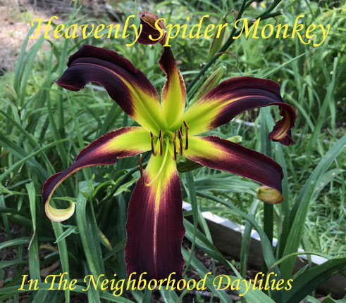 Heavenly Spider Monkey  (Gossard,  2008)-Daylily;Daylilies;Daylillies;CLICK ON PICTURE TO ENLARGE;Heavenly Spider Monkey Daylily;Gossard 2008 Daylily;Very Dark Red Self Above Very Green Throat Daylily;Reblooming Daylilies