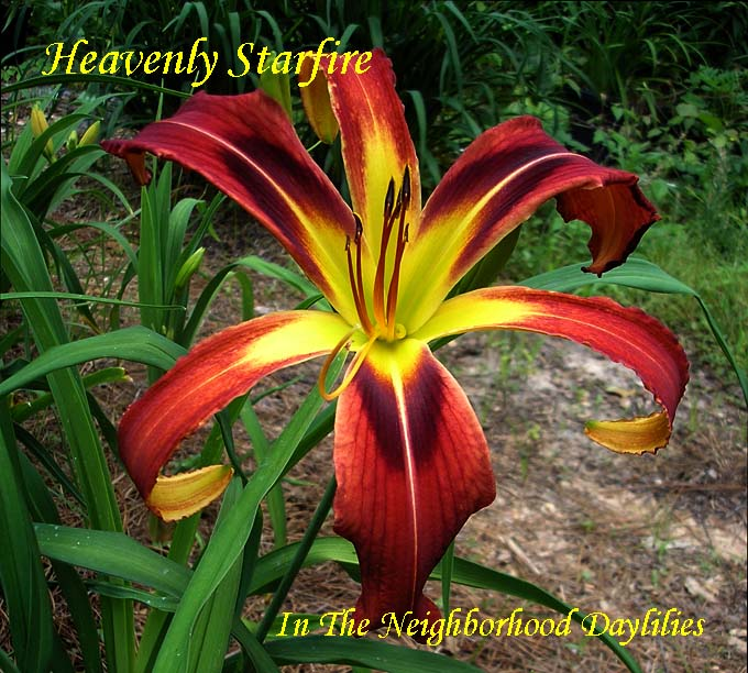 Heavenly Starfire  (Gossard,  2001)-Daylilies For Sale;CLICK ON IMAGE TO ENLARGE;Heavenly Starfire Daylily;Gossard 2001 Daylily;Award Winning Daylily;Red w' Black Eye Daylily;Unusual Form Daylily