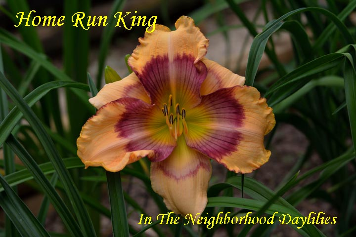 Home Run King  (Carpenter, J.,  2009)-Daylily;Daylillies;Daylilies;Home Run King Daylily;J.Carpenter 2009 Daylily;Peach w' Purple Eye Daylily;Reblooming Daylilies;Fragrant Daylilies;Perennial;Easy To Grow Daylilies
