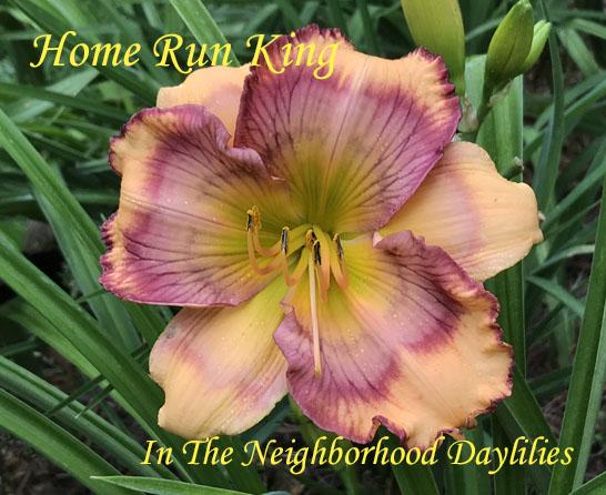 Home Run King  (Carpenter, J.,  2009)-Daylily;Daylillies;Daylilies;Home Run King Daylily;J.Carpenter 2009 Daylily;Peach w' Purple Eye Daylily;Reblooming Daylilies;Fragrant Daylilies;Perennial;Easy To Grow Daylilies