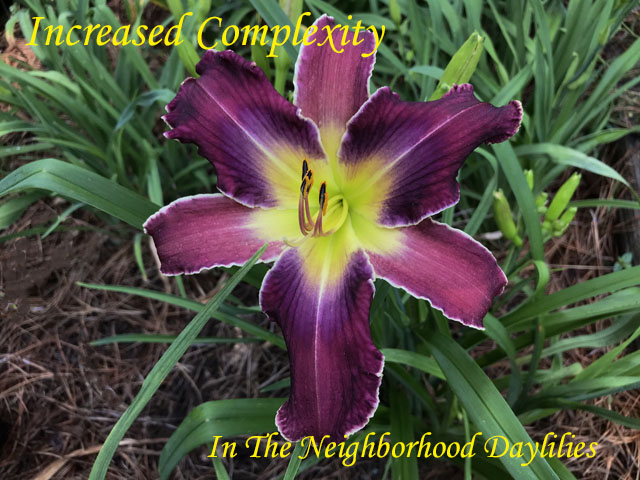 Increased Complexity  (Gossard,  2006)-Daylily;Daylilies;CLICK ON IMAGE TO ENLARGE;Increased Complexity Daylily;Gossard 2006 Daylily;Purple w' Blue Violet Patterned Eye Daylily;Reblooming Daylilies;Unusual Form Daylily;Fragrant Daylilies