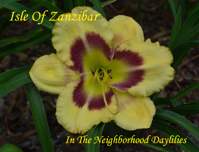 Isle Of Zanzibar  (Kaskel,  1996)-Daylilies For Sale;Daylily;Day Lily;Daylilies;CLICK IMAGE TO ENLARGE;Daylily Isle Of Zanzibar;Kaskel 1996 Daylily;Award Winninng Daylily;Chrome Yellow w'Purple Eyezone And Green Throat Daylily;Perennial