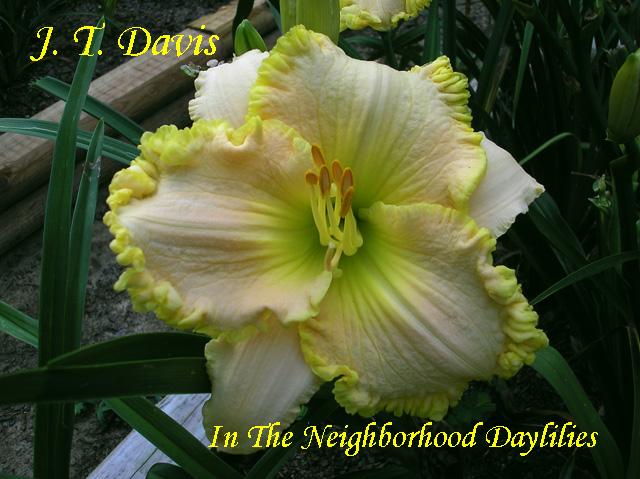 J.T.Davis  (Grace, L.,  1999)-Daylily;Daylilies;CLICK ON IMAGE TO ENLARGE;Daylily J.T.Davis;L. Grace 1999 Daylily;Yellow w' Pink Blend & Gold Ruffled Edge;Award Winning Daylily;Reblooming Daylilies;Fragrant Daylilies