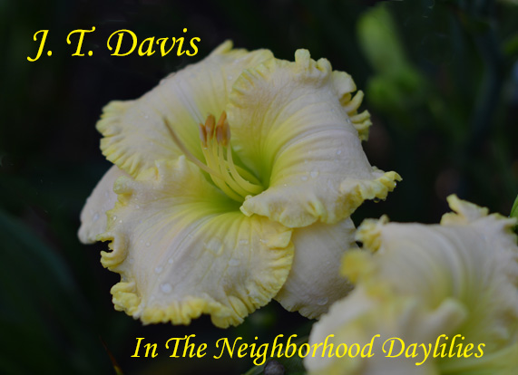J.T.Davis  (Grace, L.,  1999)-Daylily;Daylilies;CLICK ON IMAGE TO ENLARGE;Daylily J.T.Davis;L. Grace 1999 Daylily;Yellow w' Pink Blend & Gold Ruffled Edge;Award Winning Daylily;Reblooming Daylilies;Fragrant Daylilies