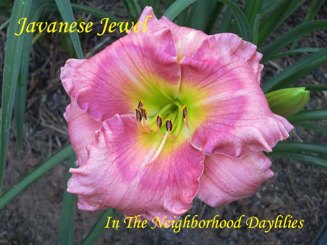 Javanese Jewel  (Carpenter, J.,  2001)-CLICK PICTURE;Daylily Javanese Jewel;J.Carpenter Daylily;Pink w' Rose Eye Daylily;Daylily Pictures;Perennials;Affordable Daylilies;Midseason Daylilies;Reblooming Daylilies