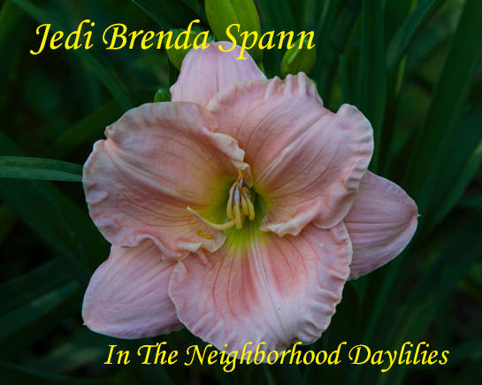 Jedi Brenda Spann  (Wedgeworth, 1990)-CLICK PICTURE;Daylily Jedi Brenda Spann;Wedgeworth Daylily;Pink Self Daylily;Award Winning Daylily;Midseason Daylily;Perennial;Fragrant Daylilies;Extended Blooming Time Daylilies;Affordable Daylilies;Diploid Daylily Semi-evergreen Daylily