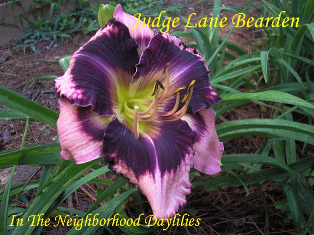 Judge Lane Bearden  (Connell, G.,  2003)-Daylily;Day Lily;Daylilies;CLICK ON IMAGE TO ENLARGE;Daylilies For Sale;Daylily Judge Lane Bearden;G.Connell 2003 Daylily;Lavender Pink w' Dark Purple Eye & Edge Above Yellow Throat Daylily;Reblooming Daylilies;Fragrant Daylilies;Perenials