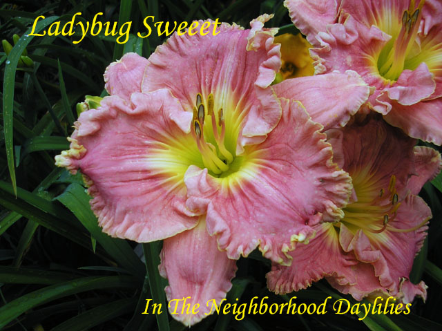 Ladybug Sweeeet  (Hansen, D.,  2009)-Daylily;Day Lilly;Daylilies;Daylilies For Sale;CLICK ON IMAGE TO ENLARGE Daylily Ladybug Sweeeet;Dan Hansen 2009 Daylily;Bright Pink w'Rose Band & Picotee Edge Above Sculpted Chartreus Throat Daylily;Reblooming Daylilies;Perennial