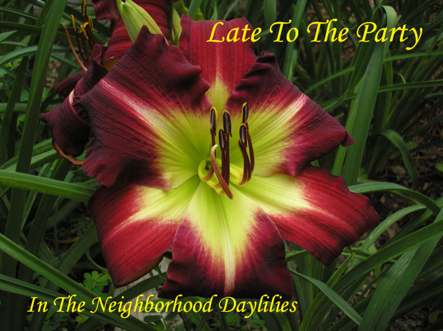 Late To The Party  (Crichton,  2004)-Daylily;Day Lily;Daylilies;CLICK ON IMAGE TO ENLARGE;Daylilies For Sale;Daylily Late To The Party;2004 Crichton Daylily;Saturated Alizarin Crimson Self w' Wide Green Throat Daylily;Reblooming Daylilies;Very Fragrant Daylilies;Perennials