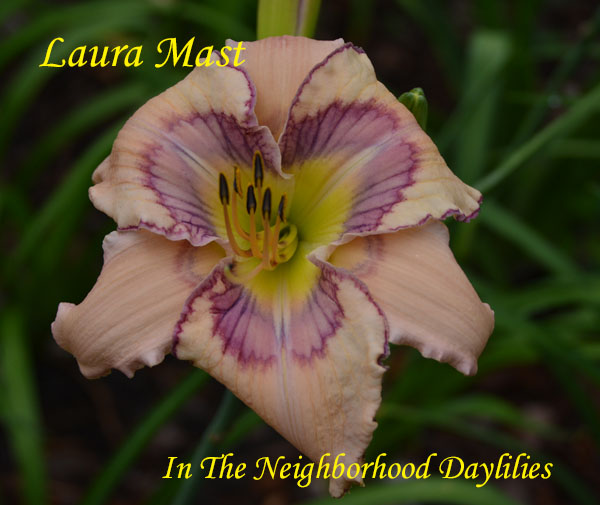 Laura Mast  (Hansen, D.,  2009)-Daylily;Daylillies;Daylilies;CLICK ON IMAGE TO ENLARGE;Daylily Laura Mast;D.Hansen 2009 Daylily;Daylilies For Sale;Flesh w' Heliotrope Red Violet Patterned Eye Above Chartreuse Throat Daylily;Reblooming Daylilies;Perennial
