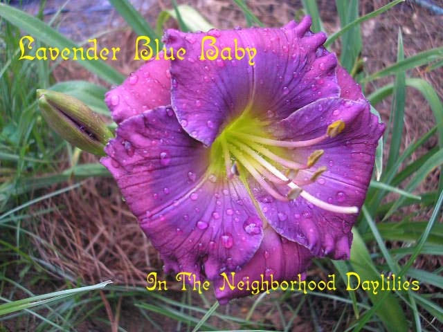 Lavender Blue Baby  (Carpenter, J., 1996)-CLICK PICTURE;Daylily Lavender Blue Baby;J.Carpenter Daylily;Lavender Blue w' Lavender Blue Eye Daylily;Award Winning Daylily;Perennial;Fragrant Daylilies;Early To Midseason Daylily;Reblooming Daylilies;Diploid Daylily;Dormant Daylily