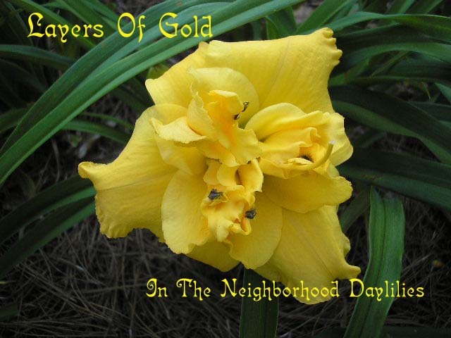 Layers Of Gold  (Kirchhoff, D., 1990)-Daylily;Daylilies;CLICK ON IMAGE TO ENLARGE;Daylily Layers Of Gold;D.Kirchhoff Daylily;Medium Gold Self Daylily;Double Daylily;Award Winning Daylily;Perennial;Affordable Daylilies;Fragrant Daylily;Early To Midseason Daylily;Reblooming Daylilies;Extended Blooming Time Daylilies;Tetraploid Daylily;Evergreen Daylily