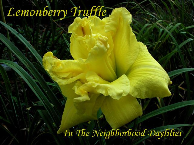Lemonberry Truffle  (Kirchhoff, D.,  2000)-Daylily;Daylilies;CLICK ON PICTURE;Lemonberry Truffle Daylily;D.Kirchhoff 2000 Daylily; Award Winning Daylily;Reblooming Daylilies;Lemon Yellow Self Daylily; Double Daylily