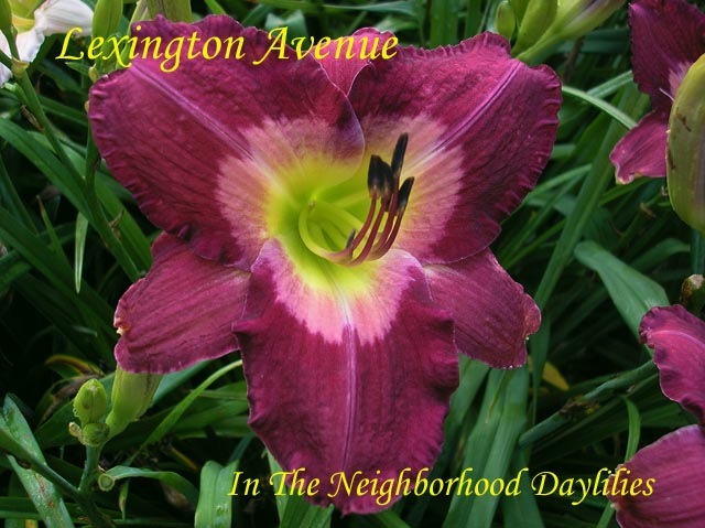 Lexington Avenue  (Munson, R.W., 1990)-CLICK PICTURE;Daylily Lexington Avenue;R.W.Munson Daylily;Wine w' White Wine Eye Daylily;Award Winning Daylily;Perennial;Affordable Daylilies;Early To Midseason Daylily;Reblooming Daylilies;Tetraploid Daylily;Evergreen Daylily