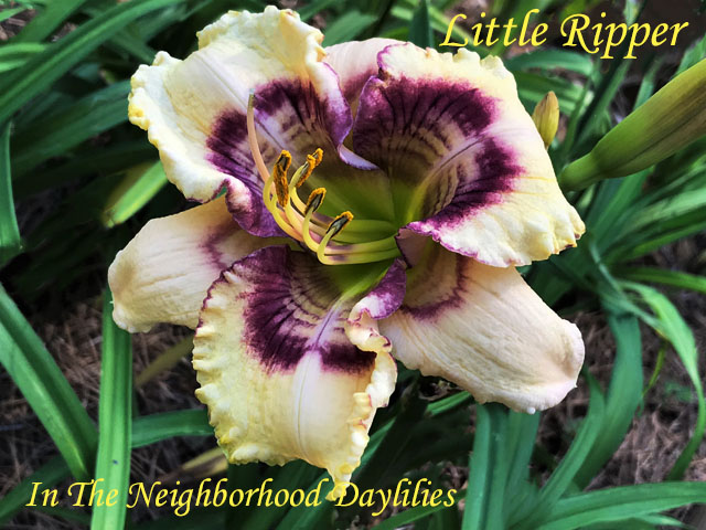 Little Ripper  (Pierce, G.,  (2015)-Daylily;Daylilies;Day Lilly;CLICK ON IMAGE TO ENLARGE;Daylily Little Ripper;Guy Pierce 2015 Daylily;Cream Base w' Gold Veining, Raspberry Eye w' Chevrons, Rings, and Green Throat Daylily;Reblooming Daylilies;Fragrant Daylilies;Perennial Daylilies