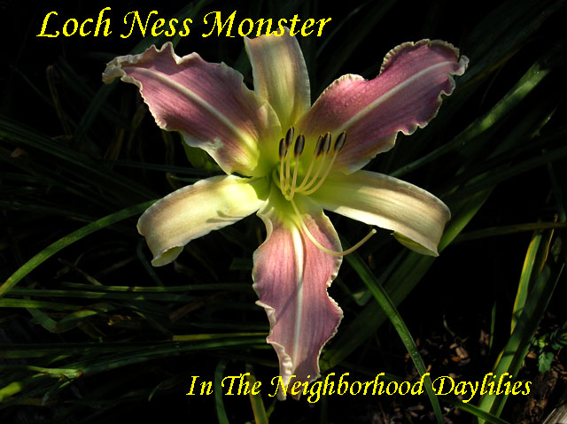 Loch Ness Monster  (Couturier, C., 1992)-Daylily;Daylilies;Daylillies;CLICK IMAGE TO ENLARGE;Daylily Loch Ness Monster;1992 C.Couturier Daylily;Silvery Lavender Edged w' Darker Lavender Halo Daylily;Spider Daylily;Award Winning Daylily;Midseason Daylilies;Perennial;Diploid Daylily;Dormant Daylily