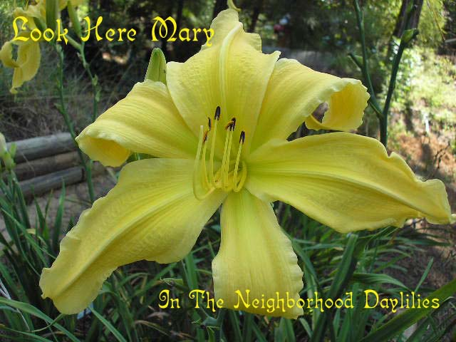 Look Here Mary  (Cranshaw 1986)-Daylily;Daylilies;CLICK IMAGE TO ENLARGE;Daylily Look Here Mary;Cranshaw Daylily;Yellow Self Daylily;Award Winning Daylily;Perennial;Midseason Daylily;Reblooming Daylilies;Fragrant Daylily;Extended Blooming Time Daylilies;Diploid Daylily;Semi-evergreen Daylily