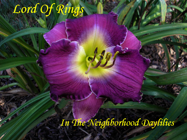 Lord Of Rings (Moldovan, 1996)-CLICK PICTURE;Daylily Lord Of Rings;Moldovan Daylily;Medium Purple Blend w' Cream Violet Band Daylily;Award Winning Daylily;Perennial;Midseason Daylily;Reblooming Daylilies;Extended Blooming Time Daylilies;Tetraploid Daylily;Semi-evergreen Daylily