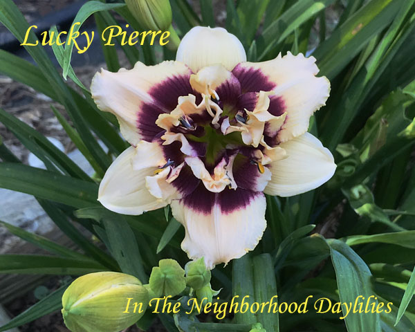 Lucky Pierre  (Trimmer, 1999)-CLICK PICTURE;Daylily Lucky Pierre;Trimmer Daylily;Cream w' Purple Eye Daylily;Double Daylily;Award Winning Daylily;Perennials;Early To Midseason Daylily;Reblooming Daylilies;Diploid Daylily;Semi-evergreen Daylily