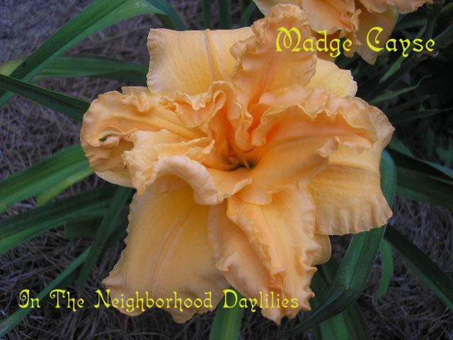 Madge Cayse  (Joiner, 1991)-Daylily;Day Lilly;Daylilies;CLICK IMAGE TO ENLARGE;Daylily Madge Cayse;Joiner Daylily;Black Apricot Self Daylily;Double Daylily;Award Winning Daylily;Perennial;Mid To Late Season Daylily;Reblooming Daylilies;Fragrant Daylilies;Extended Blooming Time Daylilies;Affordable Daylilies;Diploid Daylily;Dormant Daylily;Perennial