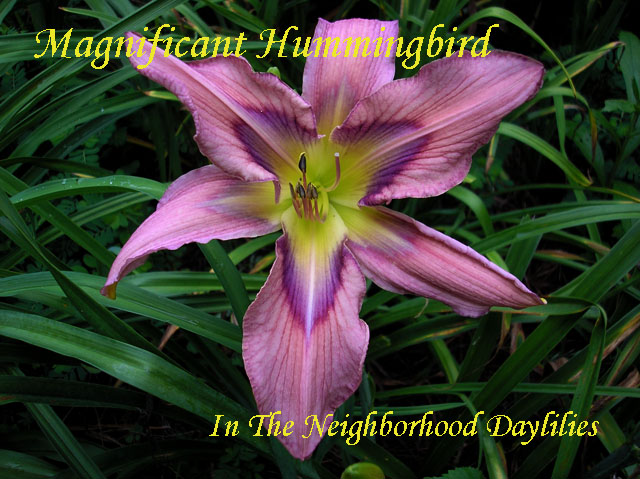 Magnificent Hummingbird  (Lambertson  2004)-Daylily;Daylilies;Magnificent Hummingbird Daylily;Lambertson 2004 Daylily;Award Winning Daylily;Reblooming Daylilies;Blue Lavender w' Shaded Patterned Eye Daylily;Unusual Form Cascade Daylily